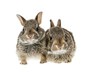 Cute Prints - Two baby bunny rabbits Print by Elena Elisseeva