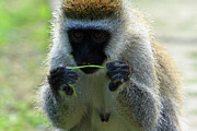 Primates Framed Prints - Vervet Monkey Framed Print by Aidan Moran