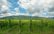 Alsace Framed Prints - Vineyard in the sunny Alsace  Framed Print by Jan Marijs