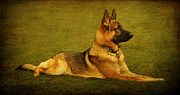 Alsatian Framed Prints - Watching Framed Print by Sandy Keeton