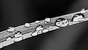 Morning Posters - Water drops on grass blade Poster by Elena Elisseeva