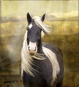 Arab Horses Prints - Welsh Cob Print by Angel  Tarantella