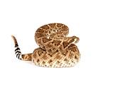 Western Diamondback Rattlesnake Print by John Bell