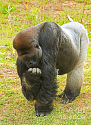 Ape. Great Ape Posters - Western Lowland Gorilla Male Poster by Millard H. Sharp
