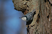 Paul OToole - White Breasted Nuthatch
