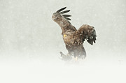 Winter Scene Photo Prints - White-tailed Eagle Print by Andy Astbury