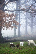 Livestock Art - Winter Lambs Foggy Day by Thomas R Fletcher