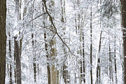 Hemlock Prints - Winter Monongahela National Forest Print by Thomas R Fletcher