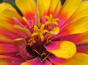 Zinnia Elegans Framed Prints - Zinnia named Swizzle Scarlet and Yellow Framed Print by J McCombie