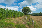Limburg Photo Posters - Corn growing on a field in summer Poster by Jan Marijs