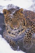 Predacious Prints - 30792d, Amur Leopard, Winter Print by First Light