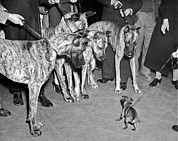 Tiny Dogs Photos - Untitled by Underwood Archives