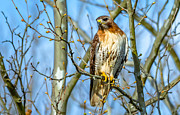 Brian Stevens - Red-Tailed Hawk