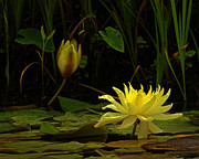 Lawrence Costales - 337 Yellow Lilly Flower...
