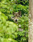 Wildlife Pics Prints - Timber Wolf Print by Michael Cummings