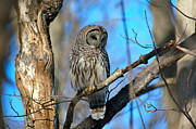 Paul OToole - Barred Owl
