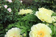 All - Yellow Peonies by Rod Ismay