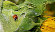 Good Luck Metal Prints - Ladybug Metal Print by Heike Hultsch