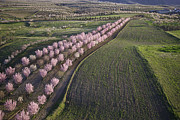 Agronomy Photos - Almond Blossom, Chirivel Los Velez by Steve Brockett