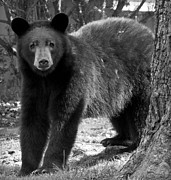 Asheville Photographs Prints - American Black Bear in North Carolina Print by Performance  Impressions