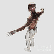 Human Body Parts Digital Art Posters - Anatomy Of Male Muscles In Upper Body Poster by Stocktrek Images
