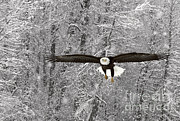 Ron Sanford - Bald Eagle In Flight