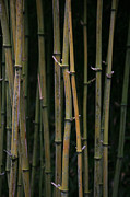 Bamboo Posters - Bamboo Poster by Timothy Johnson