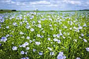 Blooms Photos - Blooming flax field by Elena Elisseeva