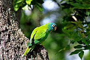 Quaker Parrot Prints - Blue-crowned Parakeet Print by Ira Runyan