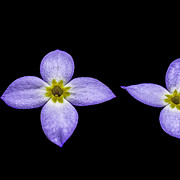 Color Purple Prints - Bluets Print by Thomas R Fletcher