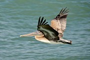 Bill Hosford - Brown Pelican