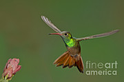 Buff-bellied Hummingbird Print by Anthony Mercieca