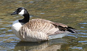 Ken Keener - Canadian Goose