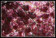 Cherry Blossoms Photo Originals - Cherry Blossoms by Dora Sofia Caputo