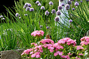 Birdbath Framed Prints - Chives in Bloom Framed Print by Thomas R Fletcher