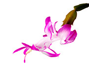 Winter Blooming Houseplant Metal Prints - Christmas Cactus Flower  Metal Print by Steve Heap