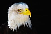 Nick  Biemans - Closeup portrait of an American Bald Eagle
