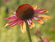 Coneflower Prints - Cornflower Print by Tony Cordoza