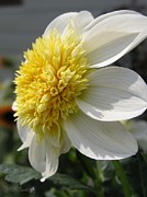 Platinum Blonde Prints - Dahlia named Platinum Blonde Print by J McCombie