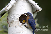 Eastern Bluebird Print by Linda Freshwaters Arndt