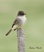David Lester Photos - Eastern Phoebe by David Lester