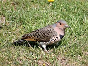 Morph Posters - Female Yellow-shafted Northern Flicker Poster by J McCombie