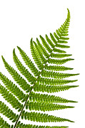 White Background Framed Prints - Fern leaf Framed Print by Elena Elisseeva