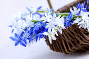 Flower Basket Photos - First spring flowers by Elena Elisseeva