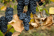 Grapevine Red Leaf Photo Posters - Gamay Noir Grapes Poster by Kevin Miller
