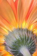Robert Jensen Art - Gerber Daisy by Robert Jensen