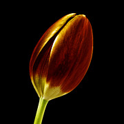 Tulip Bud Framed Prints - Golden Tulip Framed Print by Nth Alien