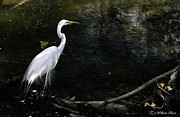Bill Baer - Great Egret