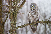 Birds Metal Prints - Great Gray Owl Metal Print by Michael Cummings
