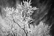 hoar frost on bare tree branches during winter Forget Saskatchewan Canada Print by Joe Fox